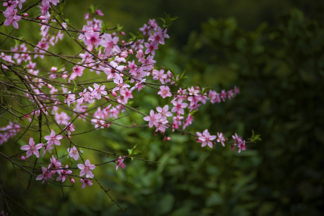 神农山桃花节一日游